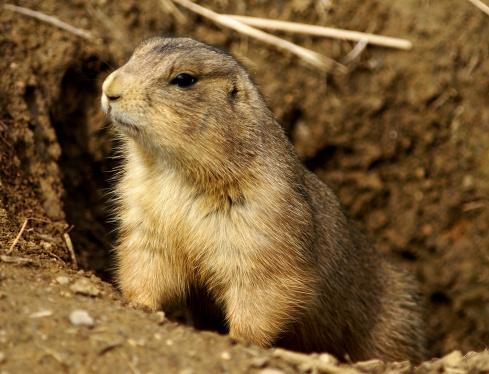 Prairie dog (credit: Aaron Siirila)