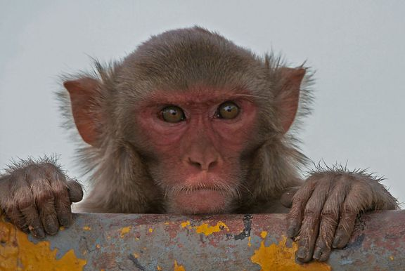 Rhesus macuque (Photo by J.M. Garg)