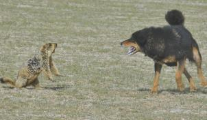 Marmot fighting a wild dog in northern Tibet (Source: China Tibet Online/ Xinhua)
