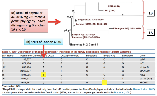 CORRECTED fig03 for Contagions blog, (a) Spyrou et al 2016 fig02B Y pestis phylogenetic tree (detail of origins of Branches 1A and 1B), (b) Table 1 with 6330 SNPs added (06272016)