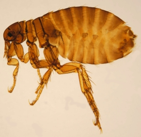 Female Pulex irritans, the human flea, from the Katja ZSM collection (CC3.0)