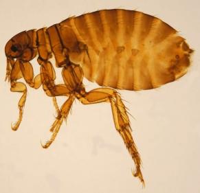 Female Pulex irritans, the human flea, from the Katja ZSM collection (CC3.0)