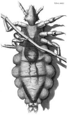 800px-louse_diagram-_micrographia-_robert_hooke-_1667